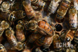 Супрун спростувала міф про користь бджолиних укусів