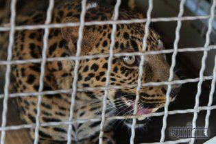 В Україні кожен може купити через інтернет рідкісного леопарда за 30 тис. грн, а кенгуру – за 20