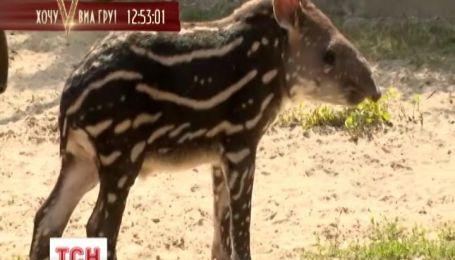 В угорському зоопарку у тапірів народилося немовля