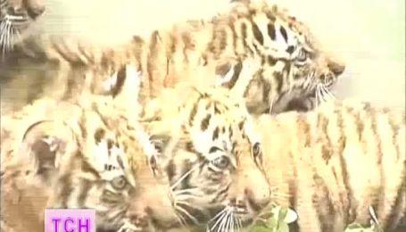 В Пекинском зоопарке публике представили пятерых маленьких тигрят