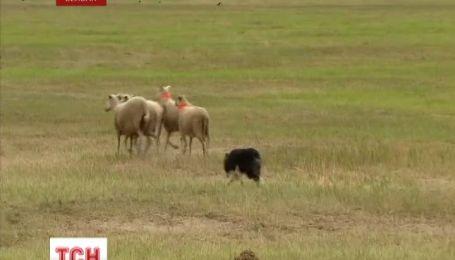 У Бельгії пройшли континентальні змагання собак-пастухів