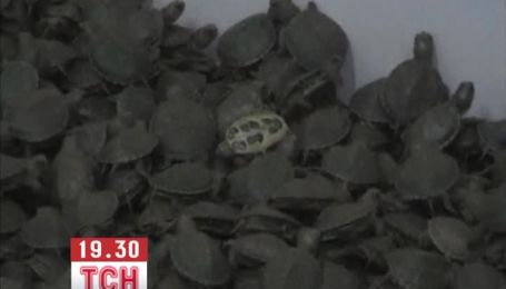 10 тыс. черепах пытались вывезти из Индии двое пассажиров