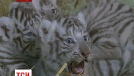 В зоопарке Франции публике представили трех тигрят-альбиносов