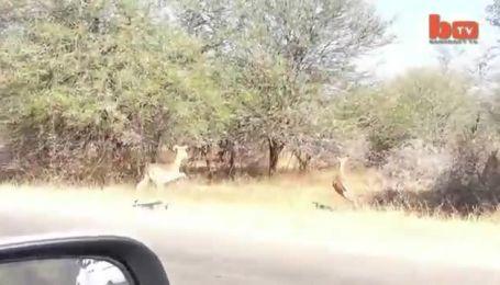 Антилопа рятуючись від голодного гепарда сховалася у авто туристів