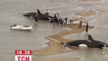 Австралийским спасателям удалось спасти касаток, которые выбросились на мель