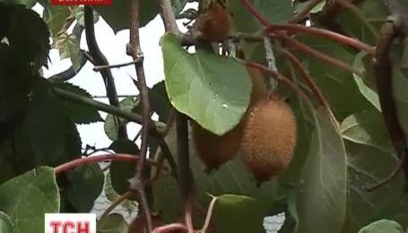 В Украине выращивают экзотические фрукты