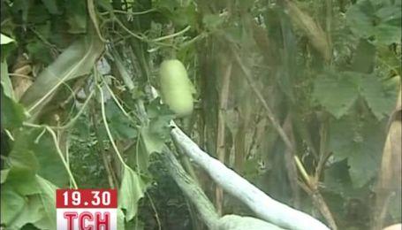 У Китаї виростили кабачок-гігант довжиною під два метри