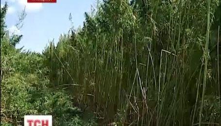 Під Києвом знищили три гектари конопель