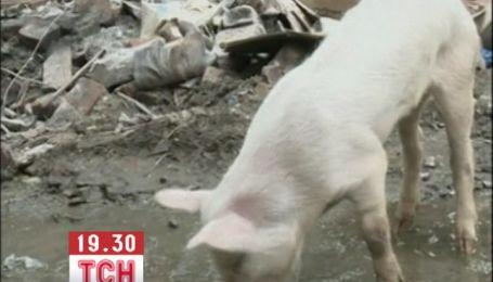 Двоє свиней змогли вижили під землею 45 днів без їжі і води