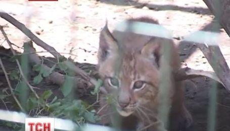 На смотрины наконец вышли четыре маленькие рыси в николаевском зоопарке