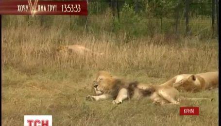 З приватного звіринця 3 левів приютили в кримському сафарі-парку
