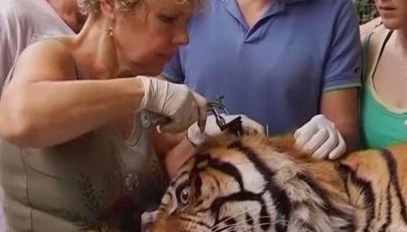 Израильские ветеринары впервые попытаются вылечить тигра иглоукалыванием