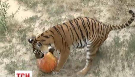 В киевском зоопарке отпраздновали день рождения тигров