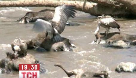 Тысячи туристов едут рисковать жизнью в Кению, чтобы посмотреть на миграцию животных