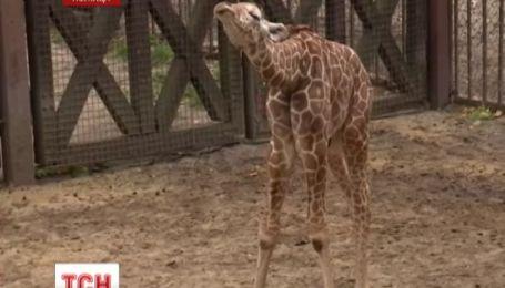 В Вроцлавском зоопарке представили маленького жирафа