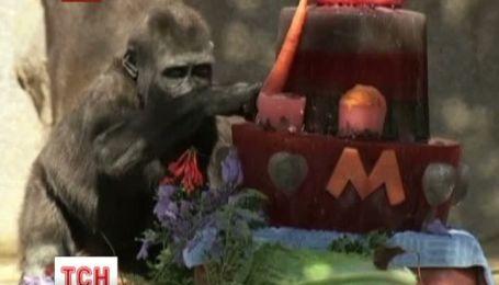 Двухлетняя горилла Монро из зоопарка Сан-Диего отпраздновала день рождения