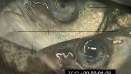 Импортная рыба заражена паразитами