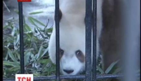 Панда цвета шоколада стала звездой китайского зверинца