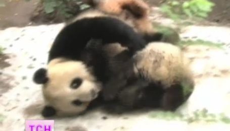 Для семьи панд в зоопарке Сан-Диего вернули зиму