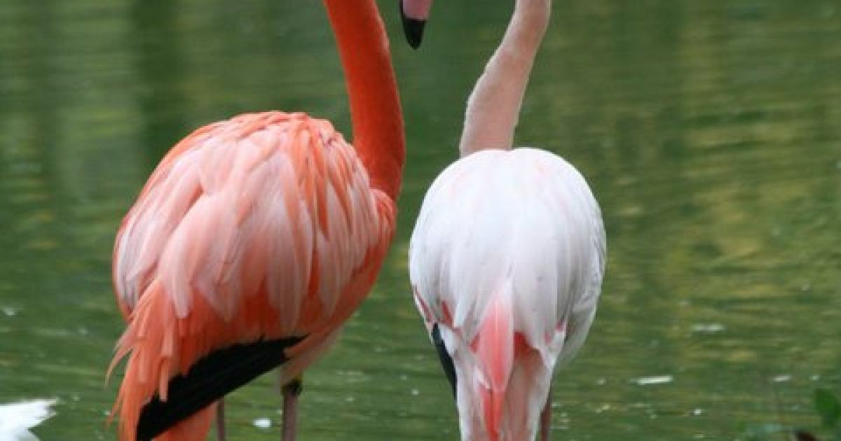 Зліва - червоний, праворуч - рожевий фламінго @ Фраза