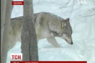 На Одещині вовки влаштували терор