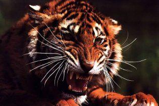 У Росії тигри загризли працівницю зоопарку