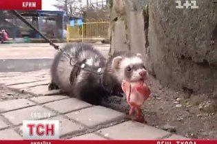 Крымчане ударили по американскому Дню сурка собственным Днем хорька