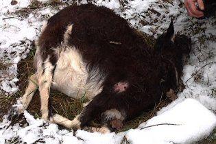 Чупакабра на Черниговщине сломала шею беременной козе и высосала из нее плаценту (фото)