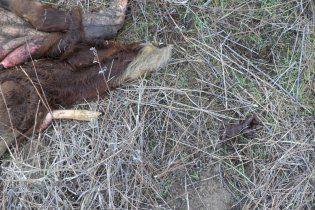 На Кінбурнській косі вовки від голоду розривають собак і корів