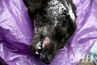 У Києві догхантери знову почали масово труїти і розстрілювати собак