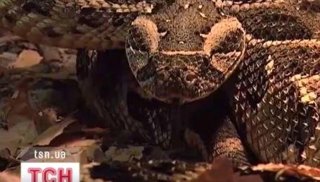 В Черкасском зоопарке родилось 72 детеныша африканской гремучей змеи
