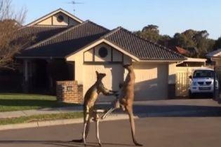Житель Австралии снял на видео потрясающий боксерский поединок кенгуру посреди улицы