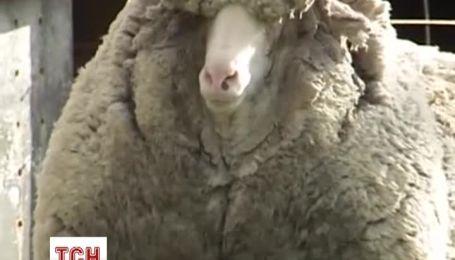 В Австралії мешкає найбільш вовняна вівця в світі