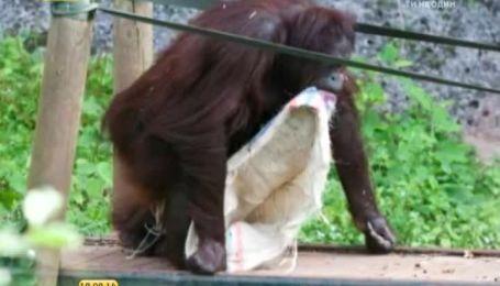 Самиця орангутанга влаштувала в зоопарку показ мод