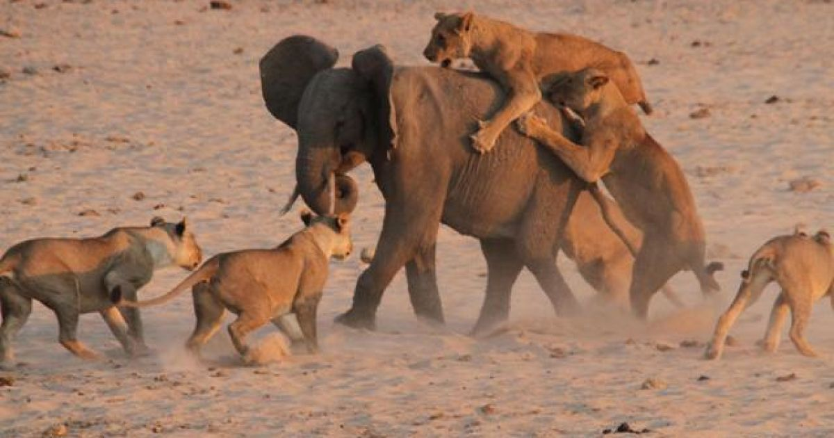 Слон отбил нападение 14 львиц @ normancarrsafaris.com