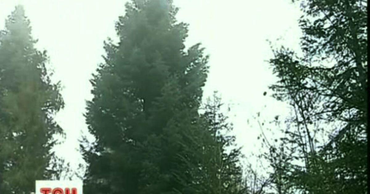 Ця ялинка через місяць стане головним новорічним деревом України @ ТСН.ua