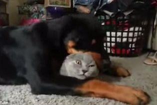 Сеть растрогал ротвейлер, который нежно обнимает и целует котенка