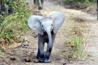 Маленьке хоробре слоненя вирішило захистити стадо від надокучливих туристів