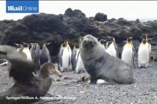 Вчені зняли на відео, як тюлень ґвалтує пінгвіна
