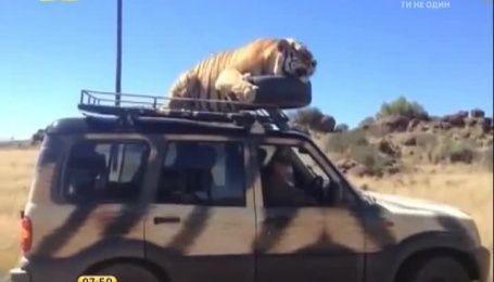 Африканський тигр влаштував туристам екстремальне сафарі, катаючись з ними на даху авто