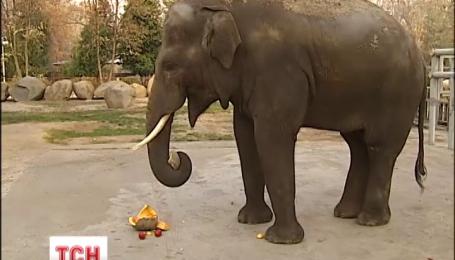 У Київському зоопарку влаштують Хелловін для азіатського слона Хораса