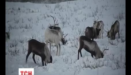 Российские правоохранители будут патрулировать тундру на оленьих упряжках