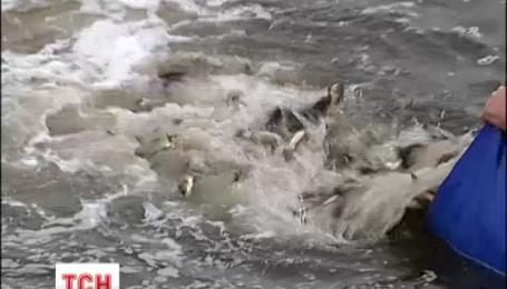100 тысяч молодых рыбок выпустили в Киевское море у Вышгорода