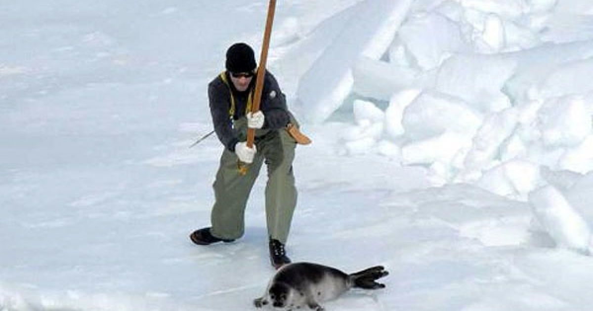seal hunting in canadas coast angered animal rights activists Animal rights groups campaign—and rightfully so—against the commercial east coast seal slaughter, not the inuit hunt the commercial seal slaughter is carried out by non-aboriginal fishers and accounts for about 97 percent of seals killed in canada.