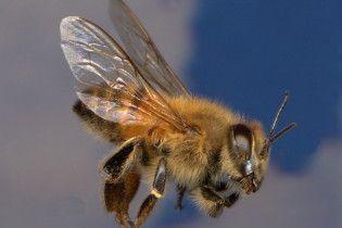 Пчелиный яд способен убивать ВИЧ