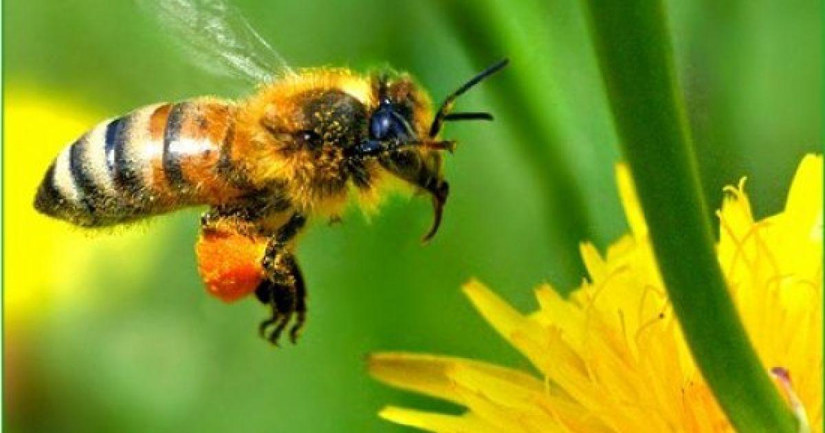 Пчелу на половой член