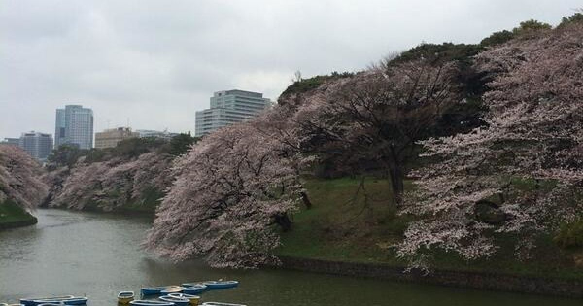 В Токио зацвели сакуры @ twitter.com/chiyodasakura