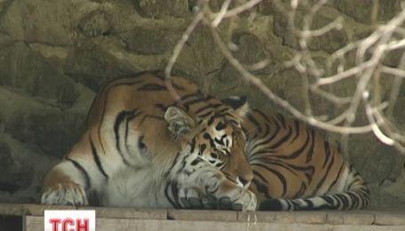 В Киеве пьяный мужчина напал на тигра и напугал животное