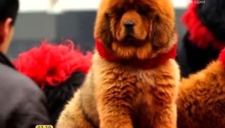 Китайский миллионер приобрел себе щенка почти за 2 млн. долл.