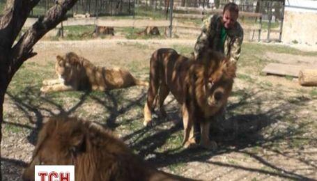 Через анексію Криму леви в сафарі-парку Тайган можуть залишитися без їжі